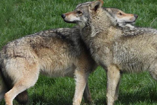 Loups Parc de Courzieu