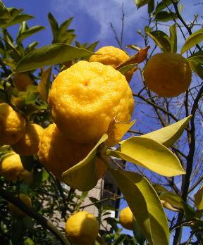 yuzu yuza citron Erborian